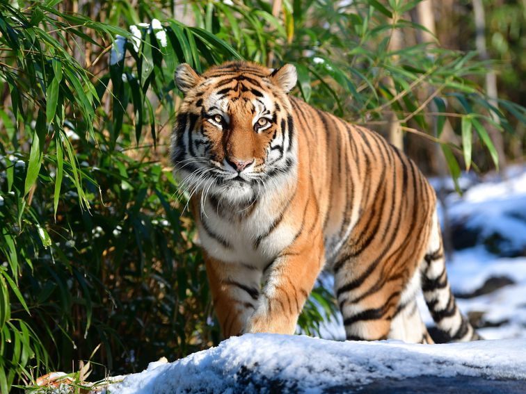 Four tigers and three lions test positive for coronavirus at the Bronx Zoo