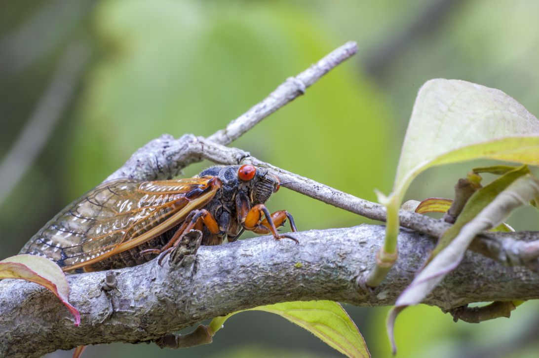 Billions of cicadas set to invade the US for first time in 17 years